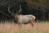 Bull Elk at Cataloochee Valley, NC