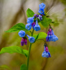 Virginia Blue Bells