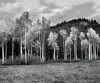 Birch Trees, Plain, WA