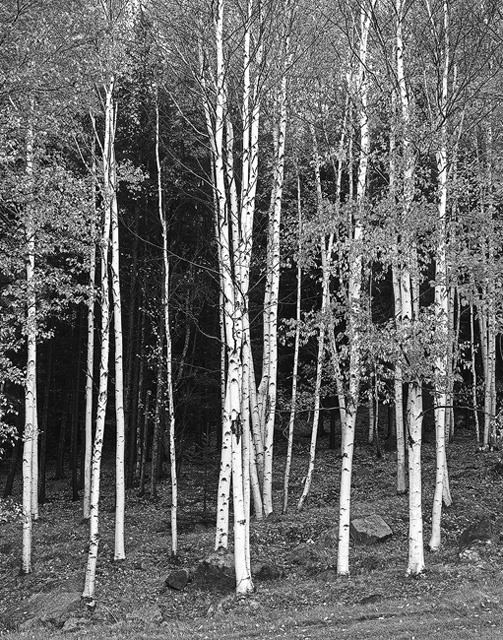Autumn light on the birches