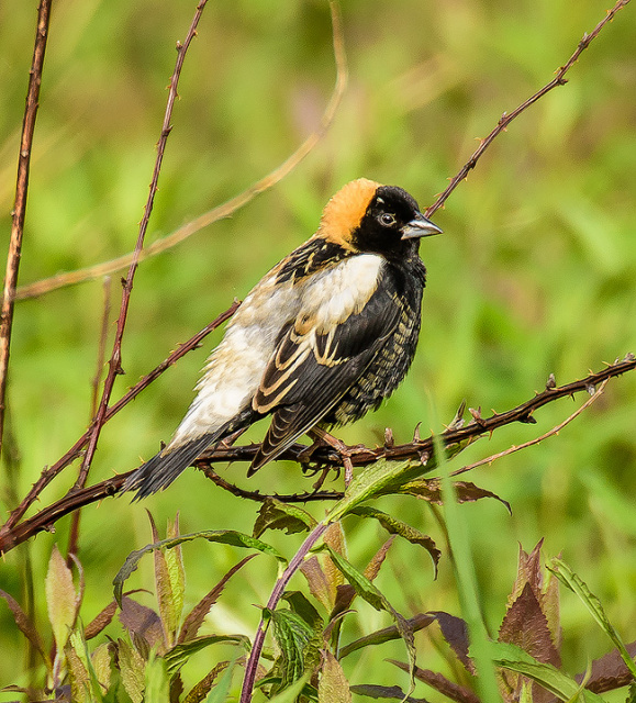 Bobolink Breeding male